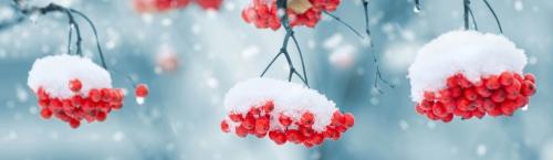 Snow-on-berries-1379880