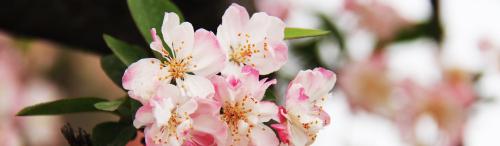 Cherry-blossom-1711024 Kopie