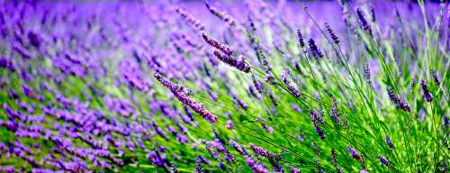 Lavender-1595486