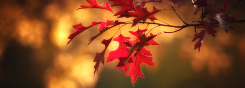 Maple-leaves-2895335